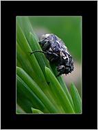 obrnený chrobák