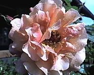 růže čajová