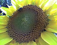 slunečnice a včela
