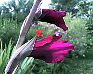 gladiola1