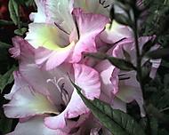 kv_ty_2006-08-12_02_gladiola_02_detail