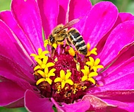 fčela