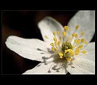 Žlté blizny kvetu