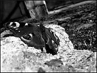 motyl na dvore