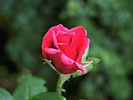 Zahradní růže.