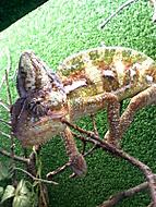 Chameleon by lg shine