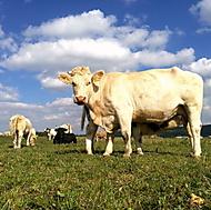 Kráva a tele