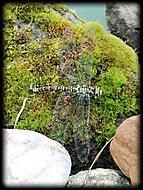 Aeshna cyanea  – Šídlo modré (samička)