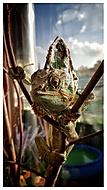 Chameleon Burák :-)