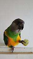 Papoušek senegalský Serge