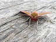 Lišaj vrbkový (Deilephila elpenor)