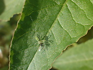Pavouček na lístu