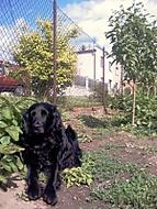 Pes v bramborách