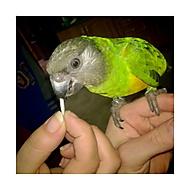 Papoušek senegalský (Poicephalus senegalus)