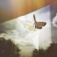 Motýl na skle.)