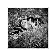 Mačičky ďalekohľadové