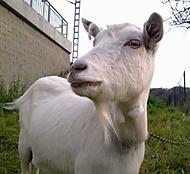 Jedna koza