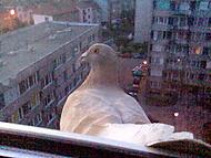 Hrdlička na okně