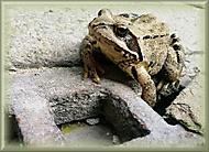Žabka na prameni