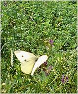 motýľ (SilveStar) – Sony Ericsson K800i