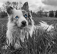 Modrooká
