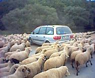 Invaze ovcí