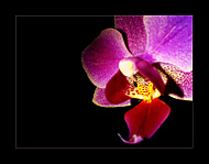 orchid flower (lafemme) - Sony Ericsson K550i