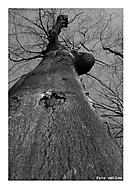 Stromový Ent