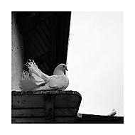 Mezi námi holuby