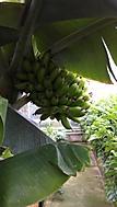 Banánovník v Produkčních zahradách Pražského hradu