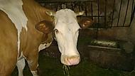 Nějáká  kráva :)