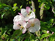 Jabloňový květ