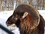 Muflon v oboře