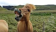 Vysmátý kůň na Islandu