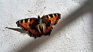 Butterfly (MlLES) - –