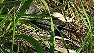 Black Viper - Černá Zmije :)