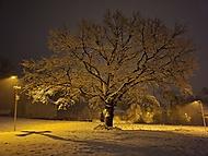 Místní Dub ve sněhu