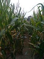 Ztracen v kukuřici