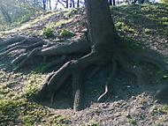 kořeny...