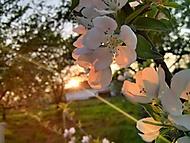 Jabloň v rozkvětu