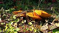 Klouzek zrnitý (Suillus granulatus)