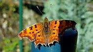 Motylek4