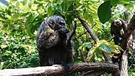 Opička v expozici deštného pralesa v norimberské zoo