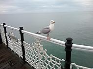 Racek na Brighton Pier