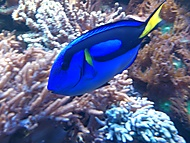 Blue Tang (backpa) - Sony Ericsson Xperia arc S