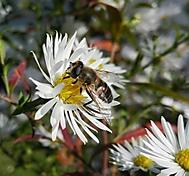 Obyčejná včela