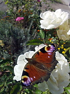 další motýlek