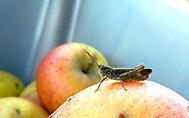 Kobylka na jablku