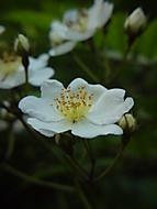 Róża (Rosa)