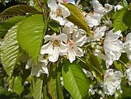 čerešňa